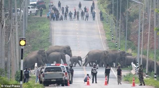Cảnh sát chặn cao tốc nhường đường cho đàn voi sang đường
